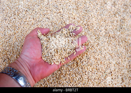 Wheat, Agadir, Morocco, North Africa - Stock Photo