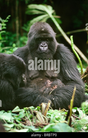 Mountain Gorillas (Gorilla g. beringei), mother Amareba with newborn infant, Virunga Volcanoes, Rwanda - Stock Photo