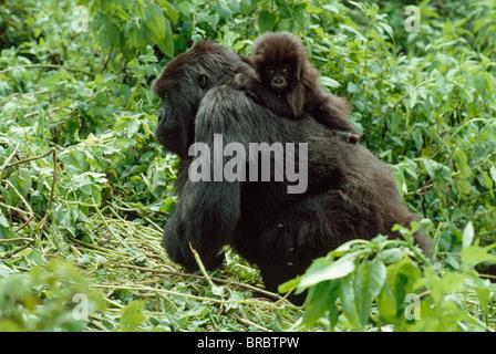 Mountain Gorillas (Gorilla g. beringei) female with infant on back, Virunga Volcanoes, Rwanda - Stock Photo