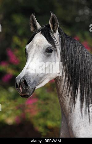 Arabian Horse (Equus ferus caballus), portrait of a mare. - Stock Photo