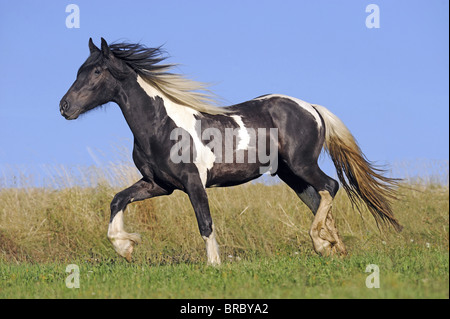 Gypsy Vanner Horse (Equus ferus caballus), young stallion trotting on a meadow. - Stock Photo