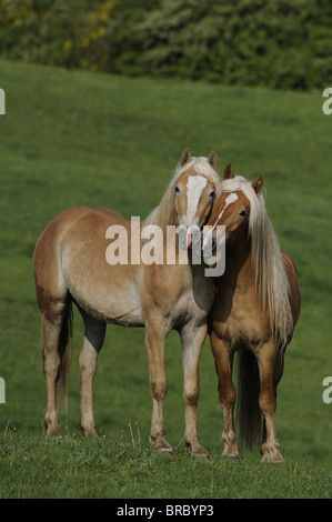 Haflinger Horse (Equus ferus caballus). Two young stallions on a pasture standing head to head. - Stock Photo