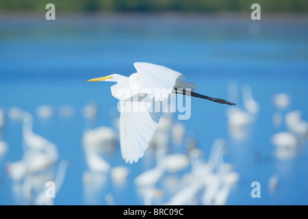 Great Egret (Casmerodius albus) in flight, Sanibel Island, J. N. Ding Darling National Wildlife Refuge, Florida, USA Stock Photo