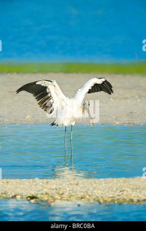 Wood Stork (Mycteria Americana) spreading wings, Sanibel Island, J. N. Ding Darling National Wildlife Refuge, Florida, - Stock Photo