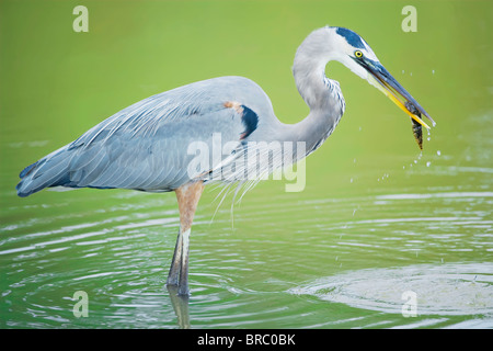 Great blue heron with fish, standing in water, Sanibel Island, J. N. Ding Darling National Wildlife Refuge, Florida, USA Stock Photo