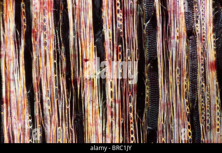 Light Micrograph (LM) of a longitudinal section showing xylem elements of a Ribes sp. stem, magnification x600 - Stock Photo