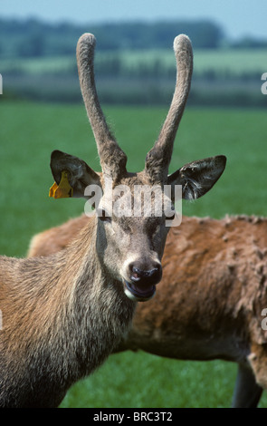 A young red deer (Cervus elaphus) stag with unpointed felt covered antlers looking at the camera - Stock Photo