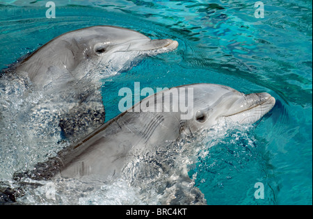 A pair of Common Bottlenose Dolphins - Stock Photo