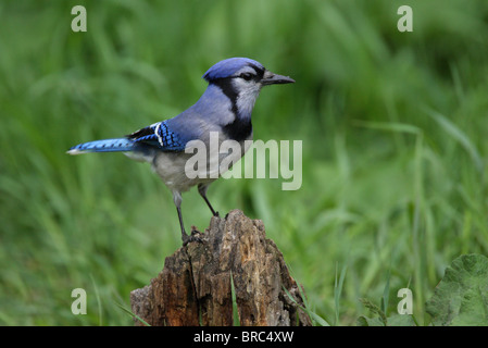 Blue Jay Cyanocitta cristata in profile perched on an old tree stump - Stock Photo