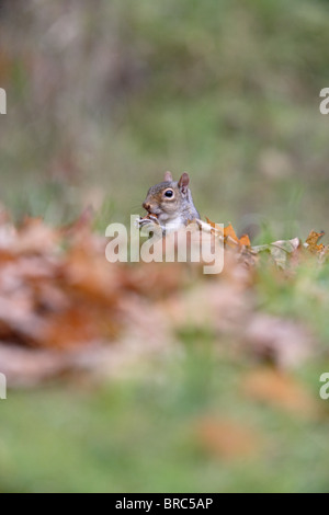 Grey squirrel (Scirus vulgaris ) in autumn leaves eating acorn - Stock Photo