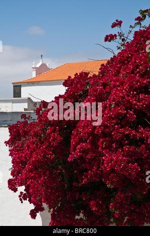dh Bougainvillea TEGUISE LANZAROTE Purple flowering Bougainvillea red bush outside garden wall