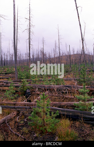 Reforestation, Regeneration and Regrowth after Forest Fire, Northern BC, British Columbia, Canada - Dead and Burnt - Stock Photo