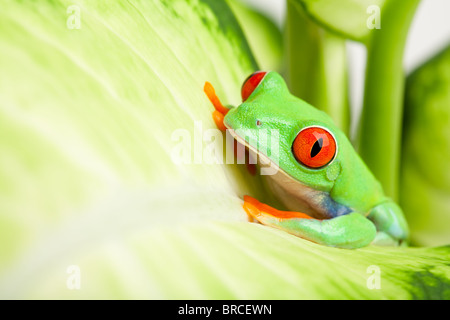 frog in a plant - red-eyed tree frog (Agalychnis callidryas) sitting on a leaf with copyspace - Stock Photo