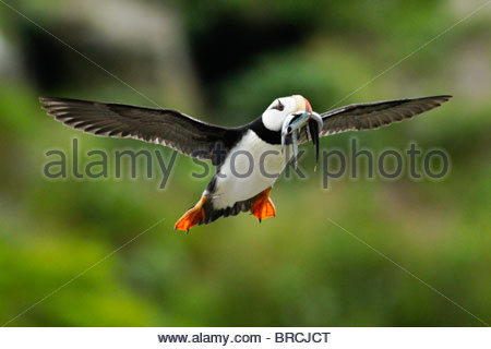 Horned Puffin (Fratercula corniculata) Flying With Mouthful of Fish, Near Lake Clark National Park, Alaska - Stock Photo