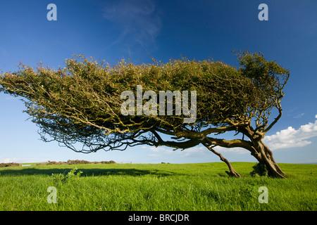 Heavily wind-pruned old Hawthorn tree, Crataegus monogyna, on the Purbeck hills, Dorset. - Stock Photo