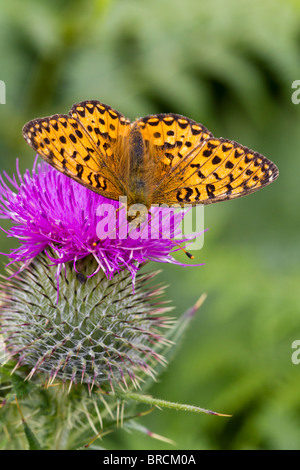 Dark Green Fritillary, Argynnis aglaja, on Spear Thistle, Cirsium vulgare - Stock Photo