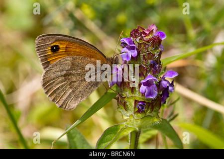 Meadow Brown, Maniola jurtina, feeding on Self-heal, Prunella vulgaris - Stock Photo