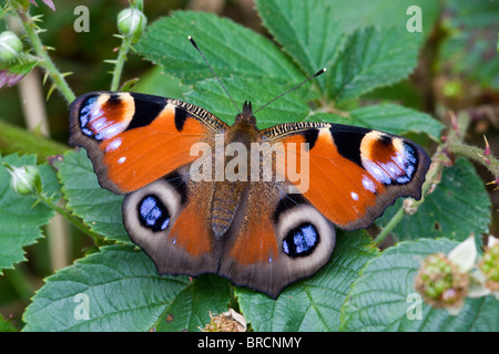 Peacock butterfly, Inachis io , resting on bramble - Stock Photo