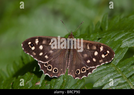 Speckled Wood butterfly, Pararge aegeria - Stock Photo