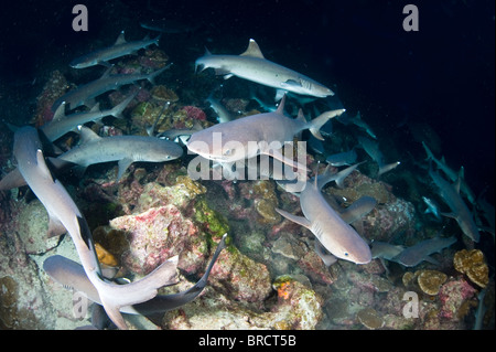 White tip reef sharks, Triaenodon obesus, hunting in the night, Cocos Islands, Pacific - Stock Photo