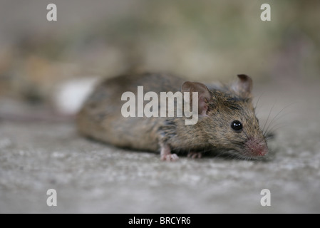 House Mouse Mus musculus Single adult portrait UK - Stock Photo