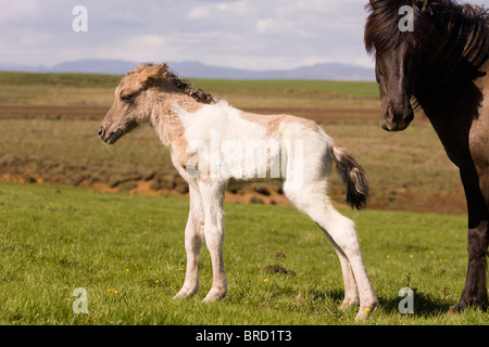 Four hour old foal with its mother, Iceland. - Stock Photo