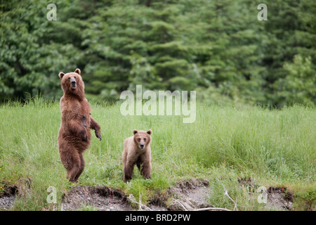 Brown bear female stands  with her cub in tall grasses, Prince William Sound, Chugach Mountains, Chugach National - Stock Photo