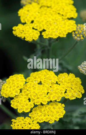 achillea filipendulina moonshine yellow fernleaf yarrow flower bloom blossom herbaceous perennial summer flowering - Stock Photo