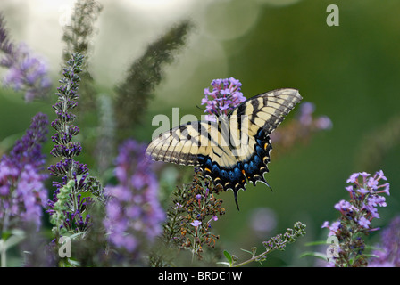 Eastern Tiger Swallowtail Butterfly on Blooming Butterfly Bush in Southern Indiana - Stock Photo