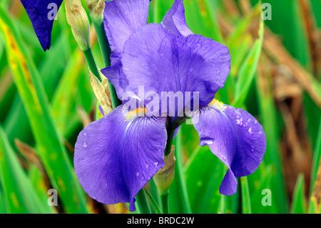 iris joan lay Bearded Iris germanica German Iris Rhizomatous blue colour color bloom flower blossom - Stock Photo