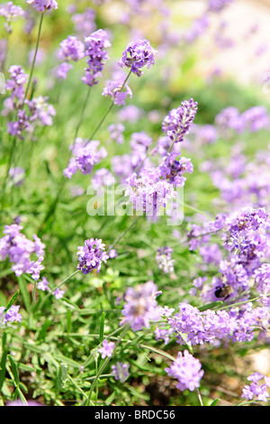 Botanical background of blooming purple lavender herb in a garden - Stock Photo