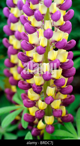 Lupinus polyphyllus herbaceous lupin russell hybrid yellow purple flower bloom blossom perennial herbaceous - Stock Photo
