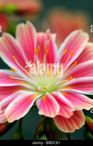Pink and white Lewisia Cotyledon bitter root hybrid flowers bloom blossom closeup close up macro portrait - Stock Photo