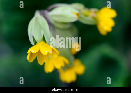 Primula veris cowslip yellow common variety variant species sp close up - Stock Photo