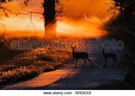 Doe and Fawn White tail Deer Crossing a Country road at sunrise - Stock Photo