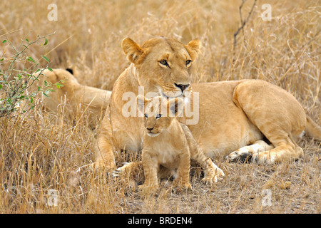 A pride of lions with a young cub in the Masai Mara, Kenya, Africa - Stock Photo
