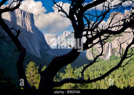 Yosemite Valley view from above Tunnel View Overlook as seen through manzanita bush.  Yosemite National Park, California - Stock Photo