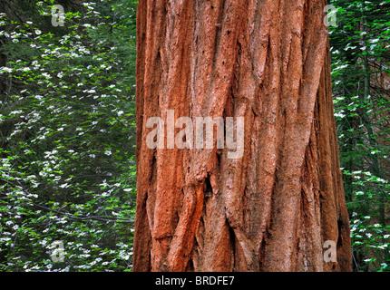 Pacific Dogwood (Cornus nuttallii) and Giant Sequoia (Sequoiadendron giganteum). Sequoia National Park, California - Stock Photo