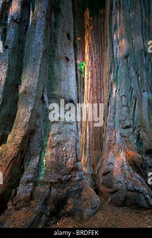 Giant Sequoia (Sequoiadendron giganteum) Sequoia National Park, California - Stock Photo