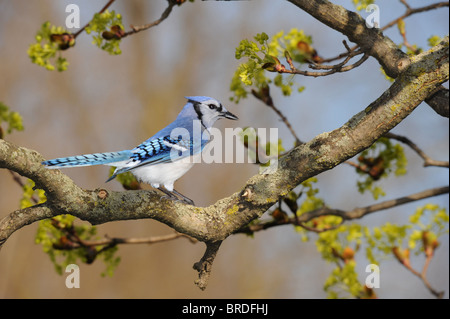 Close-up image of a blue jay sitting on a tree in blossom - Stock Photo