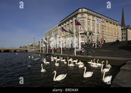 Mute Swans, Cygnus olor, in Hamburg at River Alster, Germany - Stock Photo