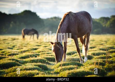 Horses at Sunrise, Balmer Lawn near Brockenhurst, New Forest, Hampshire, England, UK - Stock Photo