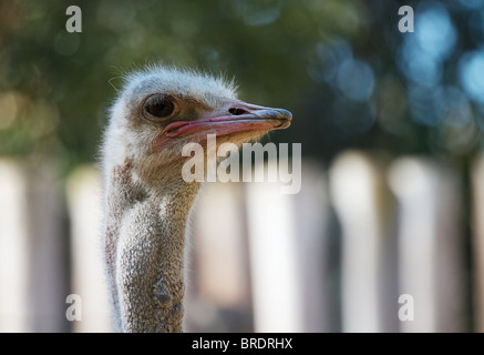 Ostrich head looking to the right with soft focus white fence and trees in background - Stock Photo