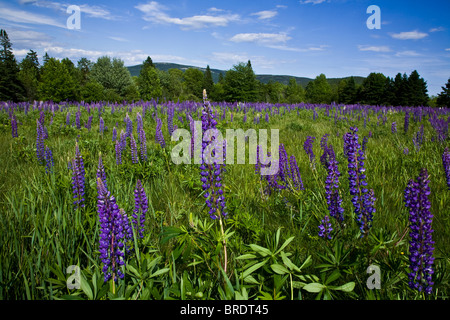 Purple and blue Lupine meadow purple flowers, lupin in Acadia National Park, Maine, USA, New England, colour blue - Stock Photo