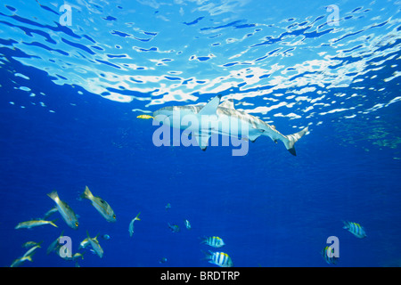 A Blacktip Reef Shark swimming in shallow water with a yellow pilot fish and two slender suckerfish, or remoras, - Stock Photo