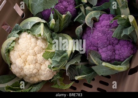 White and purple Cauliflower - Stock Photo