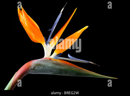 Crane Flower (Strelitzia reginae), double-blossoms - Stock Photo