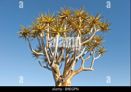 Quiver Tree (Aloe dichotoma) in Quiver Tree forest at the Garas Camp near Keetmanshoop, Namibia, Africa - Stock Photo