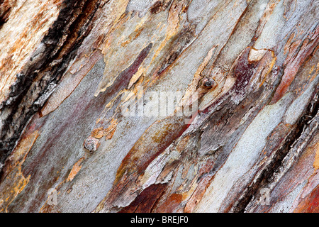 close up texture shot of eucalyptus tree bark for textures - Stock Photo