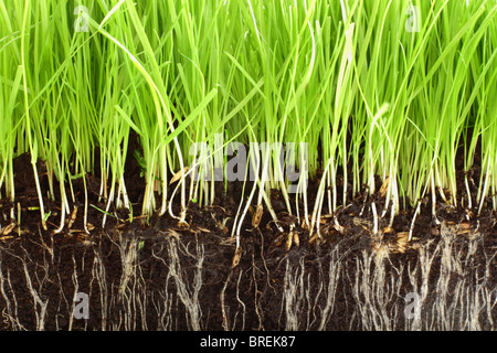 Fresh grass growing in compost with close up detail of the roots showing. - Stock Photo
